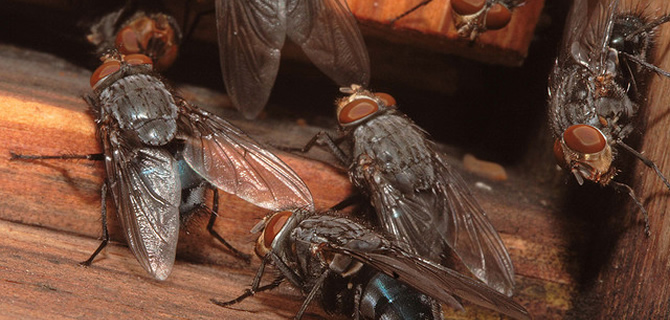 Cluster Fly, Blue Bottle, Mosquitoe infestation Liverpool Pest Control Flies