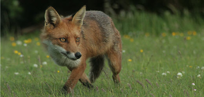 Fox pest control for Liverpool   & Merseyside, Pest Control for Foxes