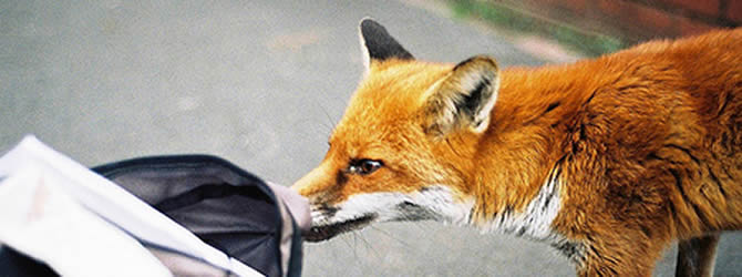 Seacombe Pest Control Service: professional pest control service for Foxes Liverpool & Merseyside, please contact us for more info.