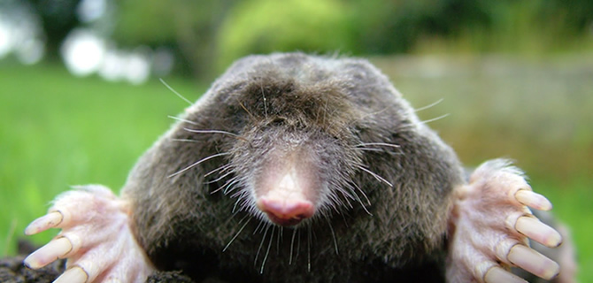 Mole infestation Liverpool Pest Control Moles