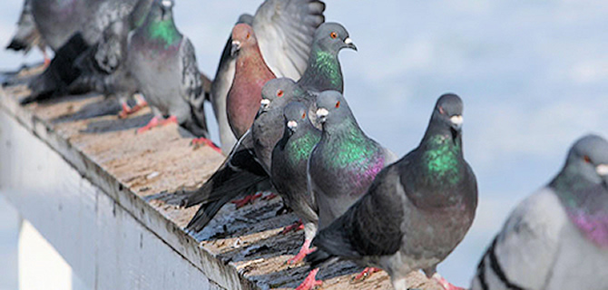 Pigeon and Bird infestation Liverpool Pest Control Birds and Pigeons