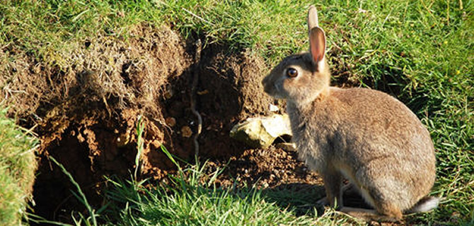 Rabbit Pest Control Liverpool Merseyside, trapping and removal