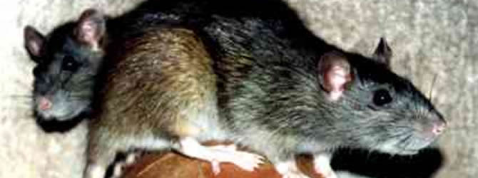 Seacombe Pest Control Service: professional pest control service for Rats Liverpool & Merseyside, please contact us for more info.