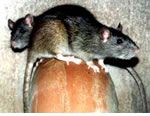 Rat Pest Control Warbreck, Merseyside, Cheshire and Warrington.