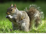 Squirrel Pest Control Warbreck, Merseyside, Cheshire and Warrington.