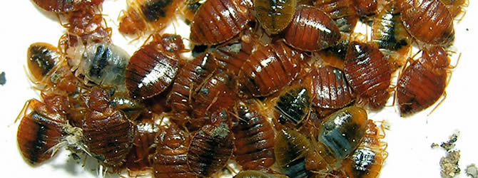 Crossens Pest Control Service: professional pest control service for Bed Bugs Liverpool & Merseyside, please contact us for more info.