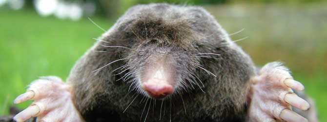 Crossens Pest Control Service: professional pest control service for Moles Liverpool & Merseyside, please contact us for more info.