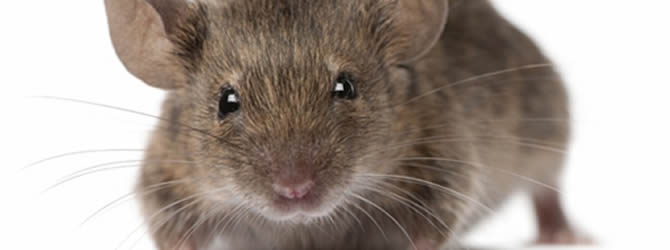 Crossens Pest Control Service: professional pest control service for Mices/Common House Mouse Liverpool & Merseyside, please contact us for more info.