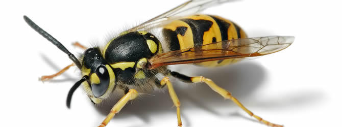 Crossens Pest Control Service: professional pest control service for Wasps Liverpool & Merseyside, please contact us for more info.